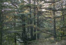 Nadim Asfar, Forêt de cèdres à Tannourine 2, 2017, tirage photographique sur papier Inbe 2020, 60 x 90 cm.